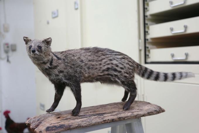 珍貴的麝香貓標本,也是來自路殺社成員的貢獻,成為重要的科研資料。 攝影│林洵安