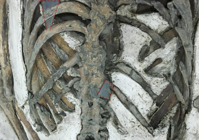 南科南關里東遺址出土,大坌坑文化時期的遺骸,背後插著頁岩箭鏃 (紅色虛線標示)。 攝影│張語辰