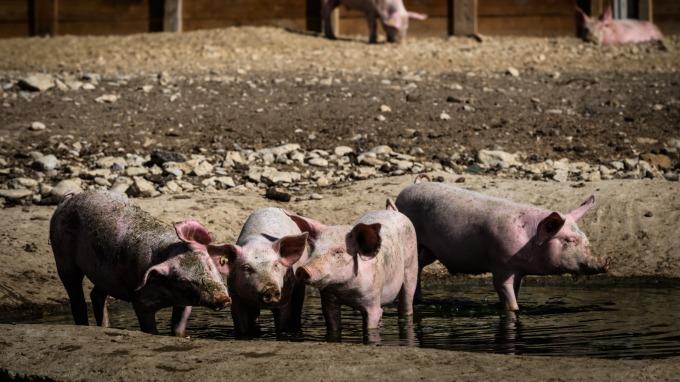 美豬出口銷售劇增 但瘦肉豬期貨價格並未隨之起舞(圖:AFP)
