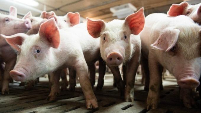 中國豬肉戰儲已耗盡!中糧集團自丹麥購買 1 億美元的豬肉。(圖片:AFP)