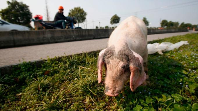輸中豬隻出口量飆升 美農業部要中國回報銷售數據(圖片:AFP)