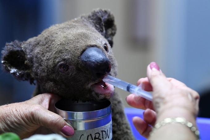 森林大火威脅無尾熊生存 (圖: AFP)