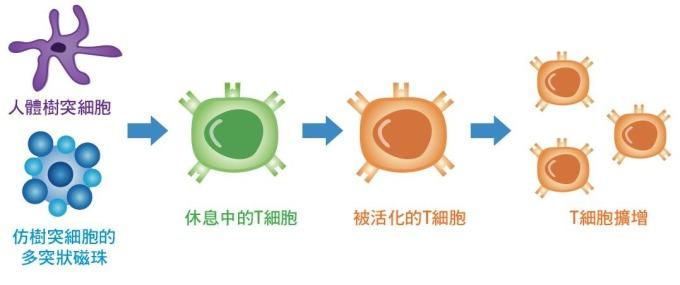 人體以樹突細胞做為抗原呈現細胞(Antigen Presenting Cells;APCs),可活化擴增 T 細胞,告訴 T 細胞外來毒物的特徵,讓 T 細胞毒殺外來物質; 工研院研發的 iKNOBEAD,仿樹突細胞的突狀結構,利用表面修飾分子作為人工抗原呈現細胞(Artificial Antigen Presenting Cells;aAPC),活化擴增 T 細胞,達到相同功效。