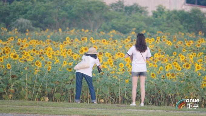 台開花蓮向日葵園有 8000 棵植栽。(鉅亨網記者張欽發攝)