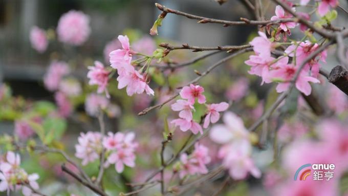 春節北部賞櫻,也是不錯的選擇。(鉅亨網記者張欽發攝)
