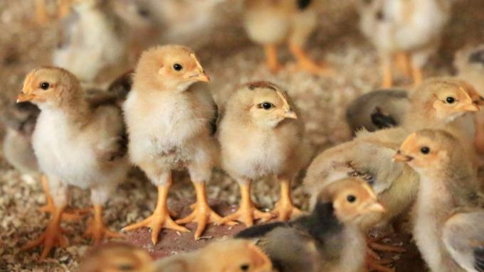 疫情打擊中國畜牧業 飼料難送達 雞農恐陷入困境(圖:AFP)