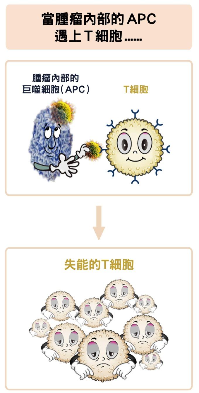 腫瘤中的巨噬細胞,反而會抑制 T 細胞的活化。 資料來源│陶秘華 圖說原作│張峰碧 圖說美化│林洵安
