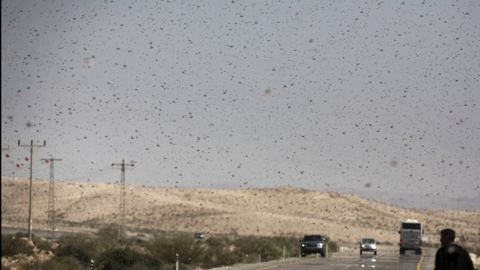 肺炎、禽流感後 中國恐又面臨4000億隻蝗蟲襲擊 (圖片:AFP)