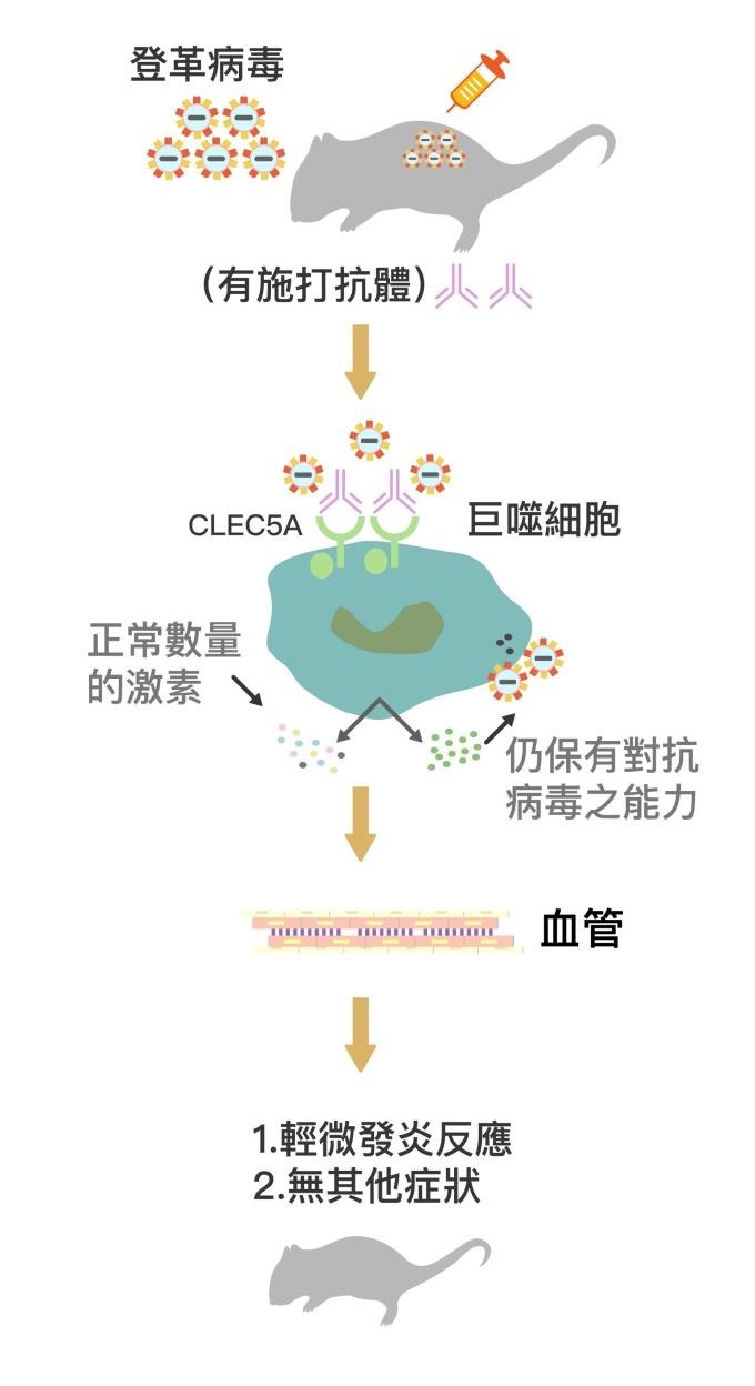 被施打 CLEC5A 拮抗性抗體 (圖中粉紫色抗體) 後,巨噬細胞上的 CLEC5A 受器被抗體佔據,不會與登革病毒結合。巨噬細胞因此不會產生過量細胞素、導致細胞素風暴,卻能持續產生干擾素消滅病毒。在抗體保護下,小鼠保持正常的血管通透性,不會產生登革出血熱症狀。 資料來源│謝世良 圖說重製│林任遠、張語辰