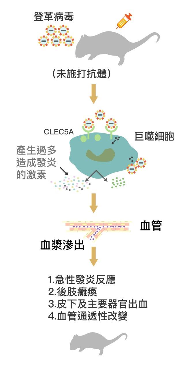 登革病毒結合巨噬細胞表面的 CLEC5A 受器,促使巨噬細胞分泌大量促進發炎的細胞素 (Proinflammatory cytokines) 。大量細胞素造成更多巨噬細胞聚集,形成「細胞素風暴」,促使小鼠過度發炎、血管通透性暴增,血漿滲出血管外,出現登革出血熱症狀。 資料來源│謝世良 圖說重製│林任遠、張語辰