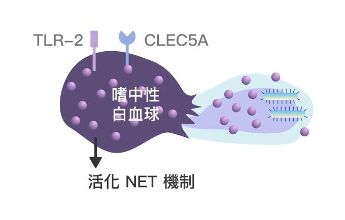 嗜中性白血球 CLEC5A 與 TLR-2 受器的協同作用,會活化 NET 機制,讓嗜中性球捨身攻擊病原體,並持續刺激免疫系統。 資料來源│謝世良 圖說重製│林任遠、張語辰