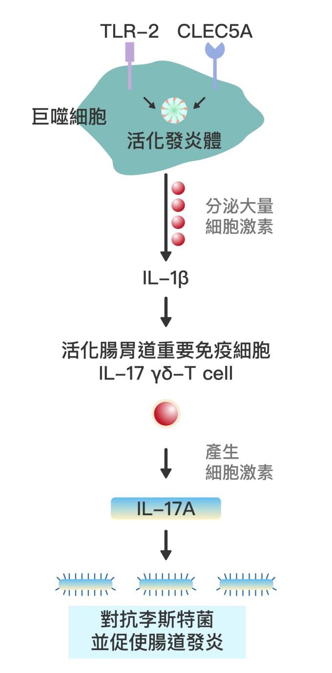 巨噬細胞上的 CLEC5A 與 TLR-2 受器協同作用,會活化發炎體 (Inflammasome) ,大量分泌細胞激素如 cytokine IL-1β,並活化腸胃道的重要免疫細胞 IL-17 γδ-T cell 。接著產生細胞激素 IL-17A,藉此對抗李斯特菌 (Listeria) 等病原體,並使腸道發炎。 資料來源│謝世良 圖說重製│林任遠、張語辰
