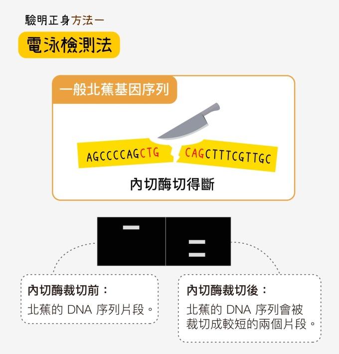 以一般北蕉來說,用特定限制內切酶去切特定分子標誌所在的 DNA 序列,北蕉的 DNA 序列會被裁切成兩段,跑電泳後,電泳圖下方出現兩條條帶,表示較短的兩個片段。 資料來源│蘇柏諺 (陳荷明實驗室) 圖說重製│林洵安