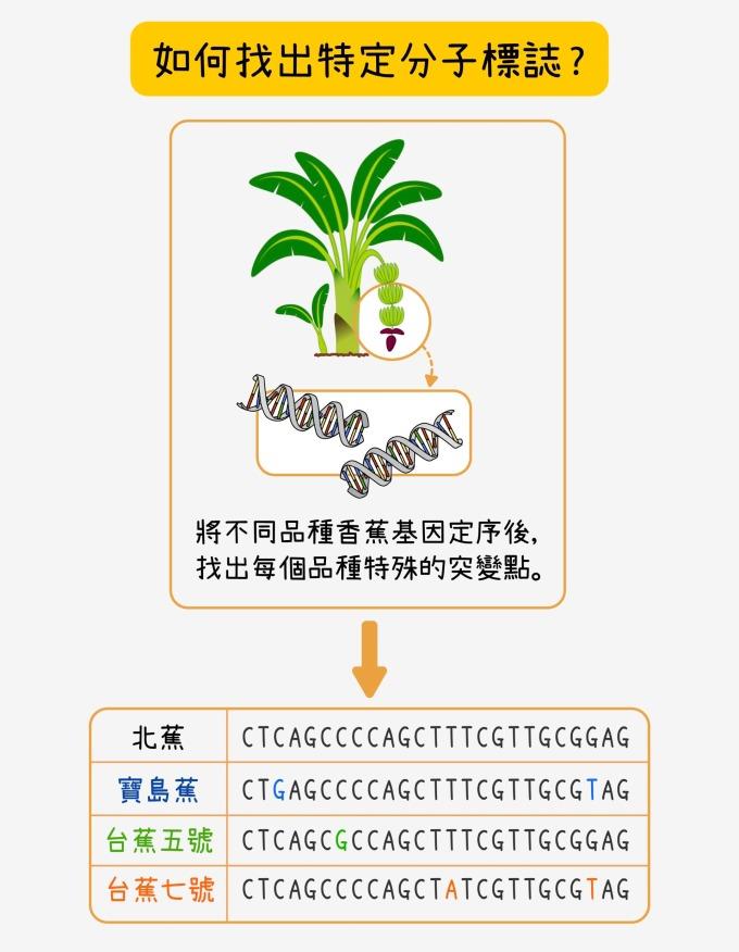 定序之後,比對寶島蕉與北蕉的基因序列,找出不一樣的地方做為寶島蕉的分子標誌候選者。再將候選的分子標誌和台蕉五號、台蕉七號及常見的栽培品種的序列比對,找出只有寶島蕉才有、其他品種都沒有的最佳分子標誌。研究團隊會為一個品種挑選大量分子標誌,再三確認,以確保可信度。 資料來源│蘇柏諺 (陳荷明實驗室) 圖說重製│林洵安
