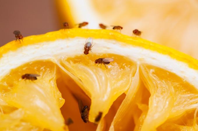 看似「頭腦簡單」的小小果蠅,竟是揭開大腦電路的關鍵生物。 圖片來源│iSock