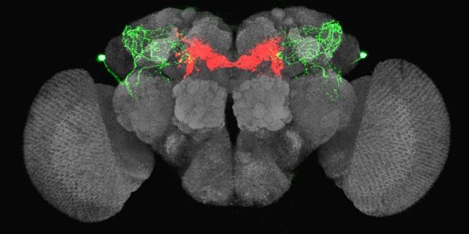 果蠅腦中的餓迴路。當果蠅飢餓的時候,LHLK 神經元 (綠色) 會釋放 leucokinin,活化 PAM-β′2mp (紅色) 神經元,讓果蠅產生覓食行為。在此同時,大腦也會釋放另外兩種神經傳導物質 serotonin、dNPF,抵銷 leucokinin 對渴神經元的抑制 (上圖洋紅色和橘黃色處),讓果蠅不想找水。 圖片來源│林書葦