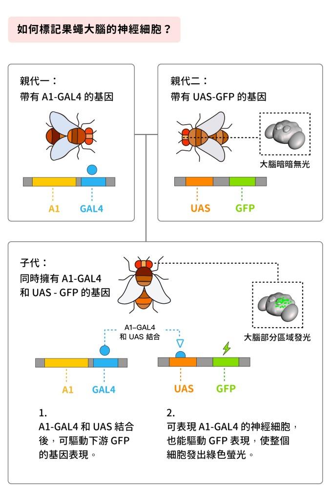 如果公果蠅身上帶有 A1-GAL41 的基因,讓牠和帶 有 UAS-GFP 基因的母果蠅交配之後,子代同時帶有 A1-GAL4 和 UAS-GFP ,於是大腦中可以表現 A1-GAL4 的神經細胞,即可發出綠色螢光。 圖說設計│黃曉君、林洵安