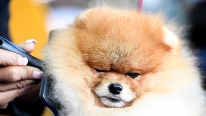 香港寵物狗血液有抗體 證實感染武漢肺炎。(圖片:AFP)