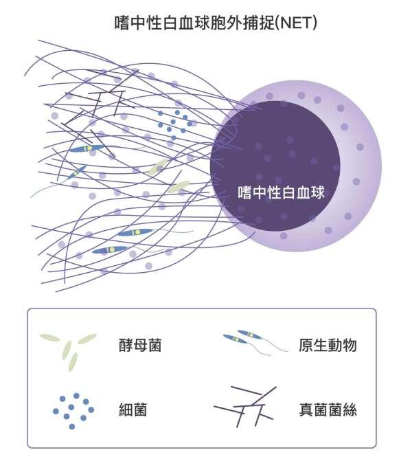嗜中性球細胞膜破裂,對病原體噴射大量絲狀染色體,高黏性的染色體會困住病原體。同時嗜中性球體內的免疫蛋隨之釋出,消滅病原體。此時嗜中性球也隨之死亡。 資料來源│NETosis : A Microbicidal Mechanism beyond Cell Death 圖說重製│林任遠、張語辰