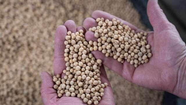 美中關係惡化+巴西庫存不足 中國Q4要面臨黃豆短缺? (圖:AFP)