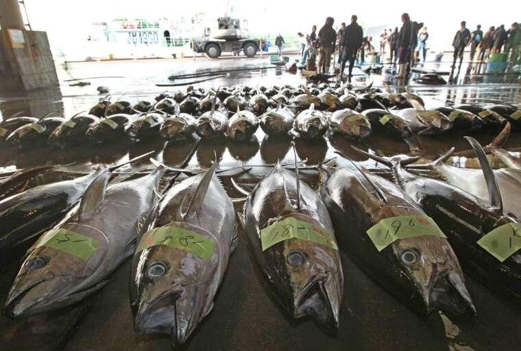 日本利用 AI 養殖鮪魚 (圖片:AFP)