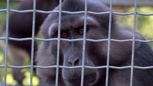 美研究顯示:猴子染新冠病毒後 產生免疫力 (圖:AFP)