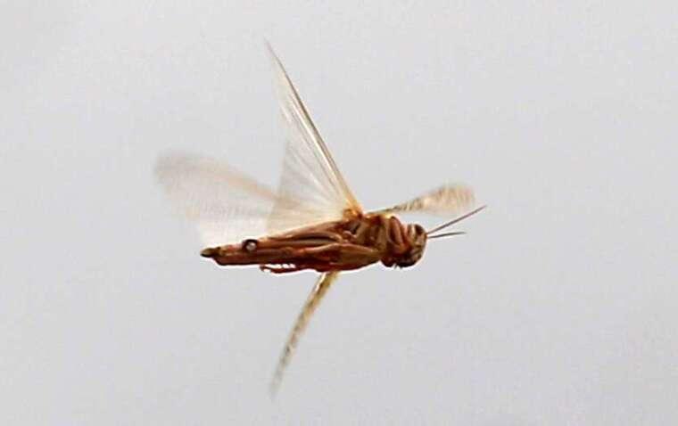 5 月繁殖季後,6 月下旬和 7 月下旬非洲將面臨新一批蝗蟲大軍。(圖片:AFP)