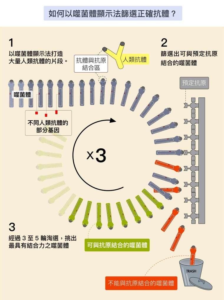 資料來源│諾貝爾獎官網噬菌體顯示法解說網頁 圖說重製│林洵安