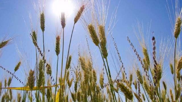 久旱歉收急搶糧 北非地區躍升全球最大小麥買家。(圖:AFP)