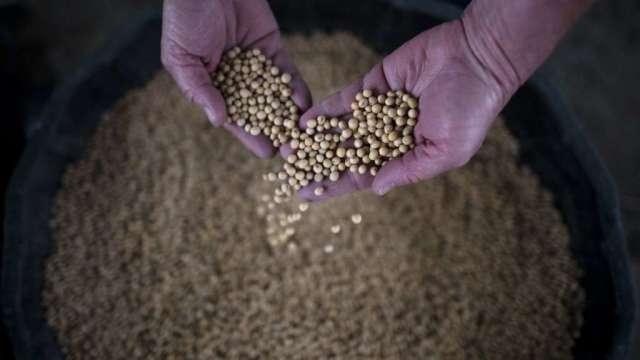 美國農業部證實:中國連兩週積極採購美國黃豆(圖:AFP)