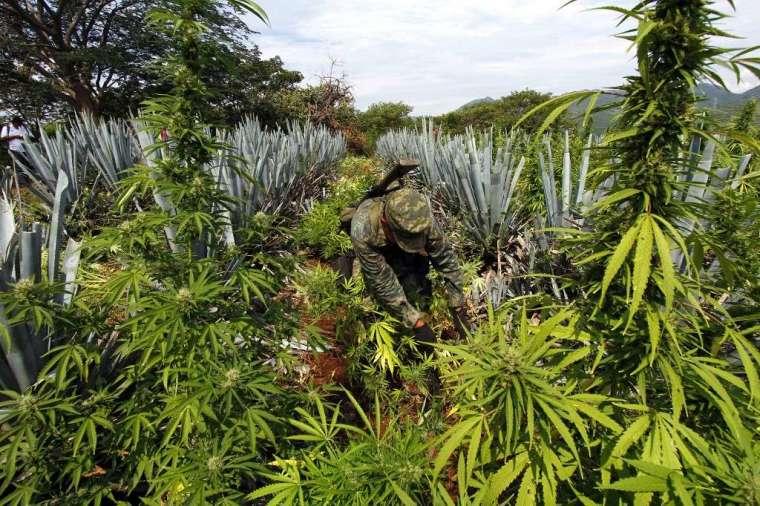 藍色龍舌蘭靠蝙蝠授粉 (圖: AFP)