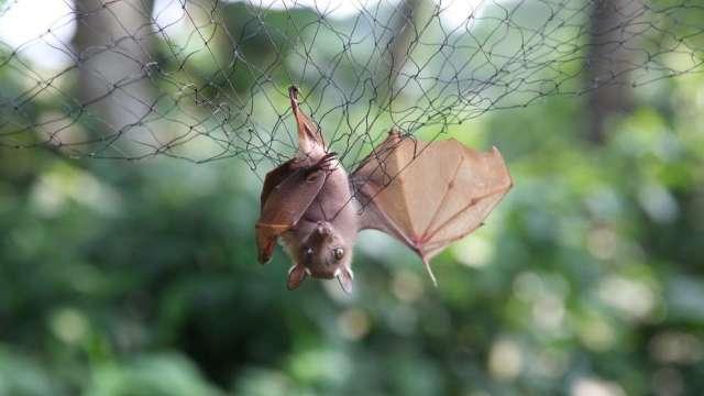蝙蝠風評被害 (圖:AFP)