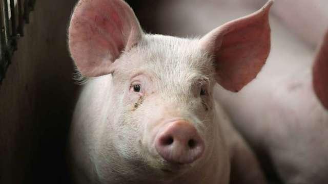 中國新豬流感病毒已有豬傳人的案例。 (圖片:AFP)