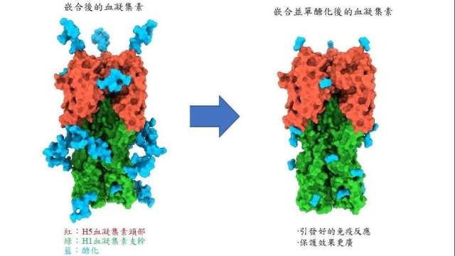 中研院研發出「單醣化嵌合血凝集素蛋白疫苗」。(圖:中研院提供)