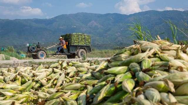 中國糧食價格飆升 玉米明年恐出現短缺問題(圖:AFP)