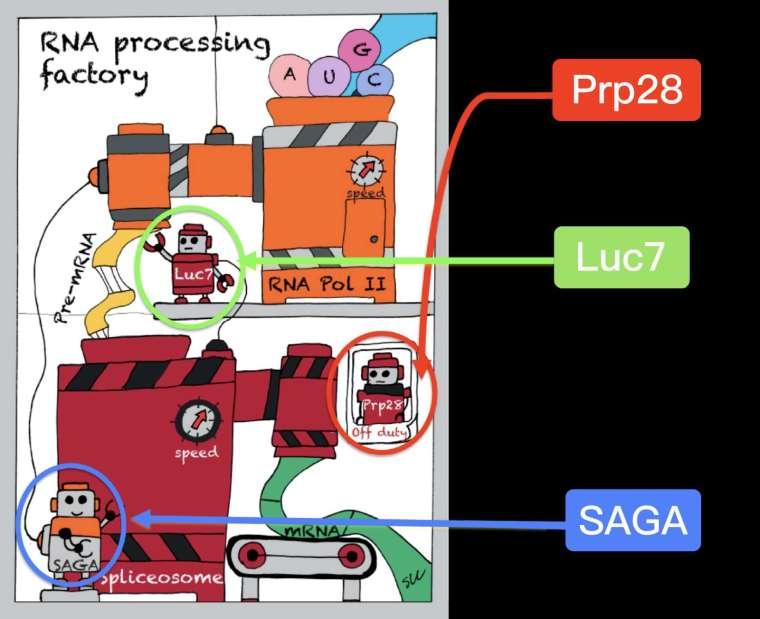 張典顯團隊用漫畫方式呈現酵母菌絕處逢生的秘訣:雖然細胞的剪接機慢了下來,但藉由演化讓上游轉錄機也減慢速度 (發生了另外的突變:蛋白質 Luc7 和 SAGA),於是上下游速度再度同步,使細胞恢復活力。 圖片來源│張典顯