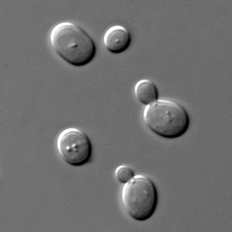 顯微鏡下的酵母菌, 90 分鐘即可產生一個世代,非常適合進行演化實驗。 圖片來源│維基百科