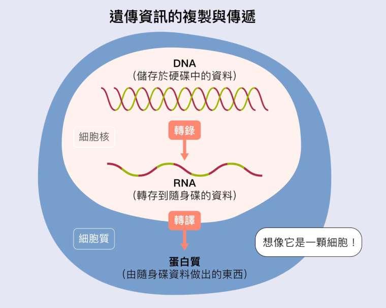 生物所有基因的資訊全部是在 DNA 上,好比身上的「硬碟」。細胞要使用這些資料時,必須把細胞核裡的 DNA 的資訊,轉錄成為 RNA—- 好比用「隨身碟」把硬碟資料拷貝出來。接下來,RNA「隨身碟」的資訊進入細胞質,進行轉譯,製造各種蛋白質,好比把隨身碟內的資料列印成實體文件。 資料來源│張典顯 圖說設計│黃曉君、林洵安