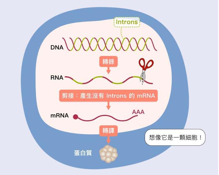 DNA 基因不是呈連續性的,中間穿插一些不需要的片段稱為內含子 (introns),轉錄後的 RNA 必須剪去中間不需要的部分,把有用片段接起來,變成信使 RNA (mRNA),細胞才能根據它製作蛋白質。 資料來源│張典顯 圖說設計│黃曉君、林洵安