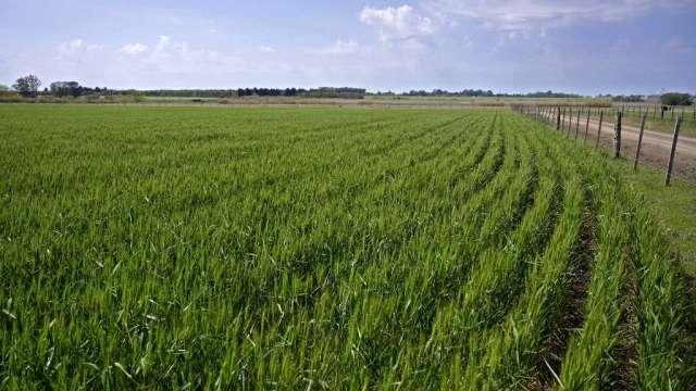 憂乾旱氣候影響供應 小麥期貨突破近6年高點 單週漲4.5%(圖:AFP)
