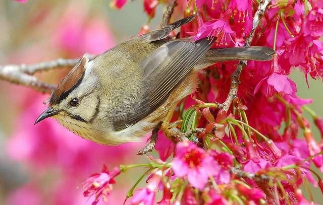 沈聖峰自大學起研究冠羽畫眉,他發現「習性、棲地、體態相近的鳥類不少,例如黃山雀,但是冠羽畫眉在數量上總是比較佔優勢。 圖片來源│作者 Robert tdc