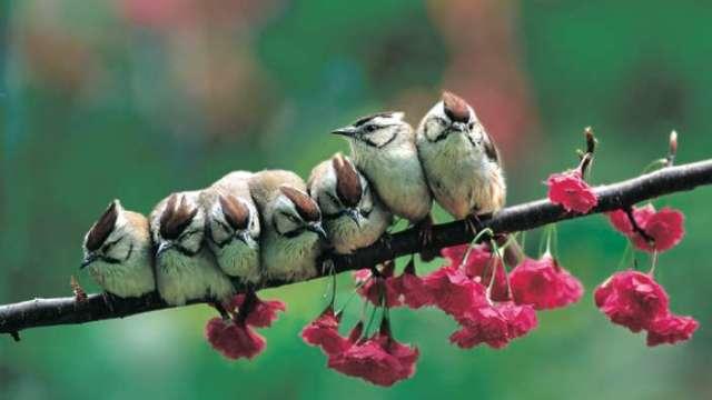 冠羽畫眉 (Yuhina brunneiceps) 是台灣特有鳥類,體長 12~13 公分,體態短小敏捷,頭頂則有鑲黑邊的栗褐色羽冠。 圖片來源│林英典攝影,沈聖峰提供