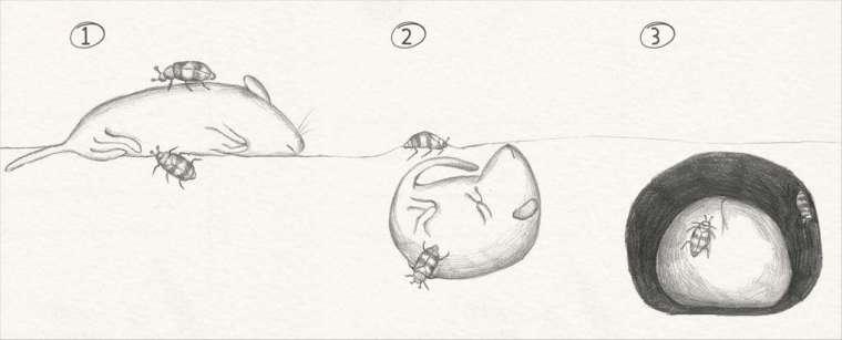 優勢的埋葬蟲配偶,將屍體埋入地下、進行防腐處理,並在肉球上育幼。 資料來源│Scientific American 圖片重製│張語辰