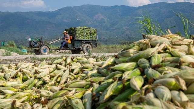美國玉米、小麥期貨價攀升 傳中國將大幅增加玉米進口(圖:AFP)
