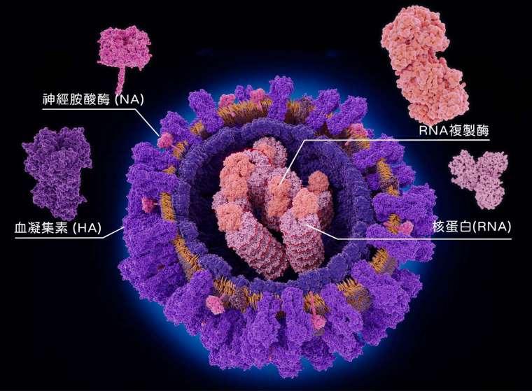 流感病毒直徑約 80~120 奈米,因為是 RNA 病毒,非常容易變異。入侵細胞全靠外套膜上兩種醣蛋白:一種是血凝集素 (Hemagglutinin,簡稱 HA),能幫助病毒黏附宿主細胞,一種是神經胺酸酶 (Neuraminidase,簡稱 NA),幫助病毒在宿主細胞內繁殖後離開、持續在宿主體內擴散。 圖│iStock