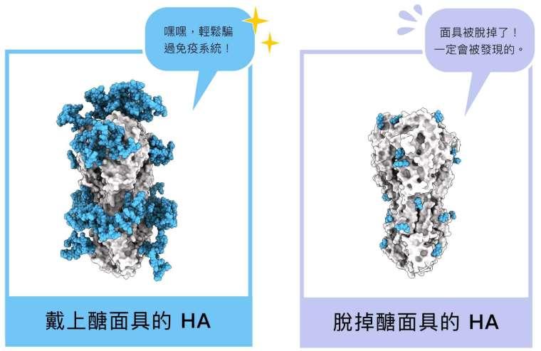 HA 醣蛋白結構,藍色部分即為醣面具,左圖為原本布滿醣分子的結構,右圖為研究員拿掉絕大多數醣分子後、還原 HA 的真面目。 圖│研之有物 (資料來源│馬徹實驗室)