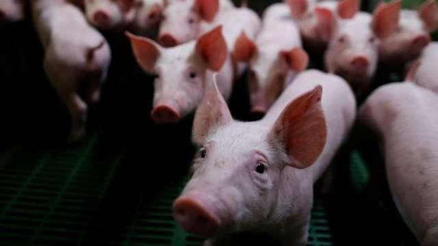 萊豬開放進口 政院通過赴美查廠、新增貨號五大配套措施。(圖:AFP)