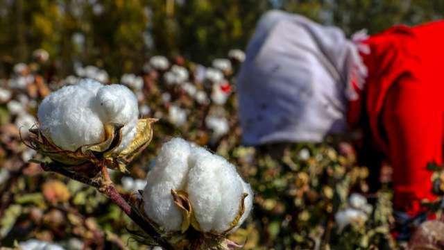 打擊強迫勞動 美國全面禁止進口新疆棉花、番茄 (圖:AFP)