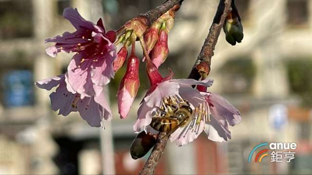 春節賞櫻行程規劃多,龍巖新北白沙灣陵園園區也有吉野櫻、山櫻花等。(鉅亨網記者張欽發攝)