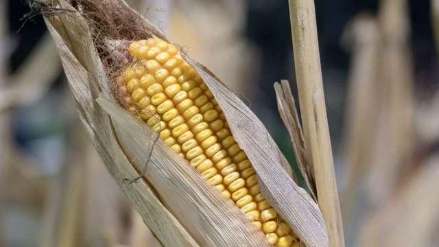 中國玉米仍然短缺 料將加大由美國進口量(圖:AFP)